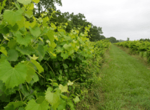 Green Grape Vines