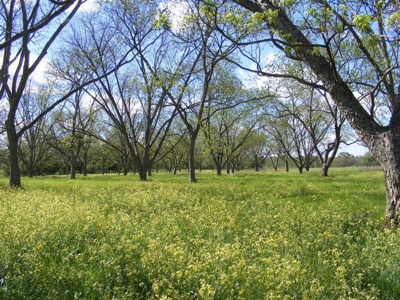 Pecan Orchard in April