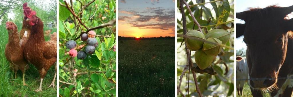 Chickens, Blueberries, Sunset, Pecans, Cows from Koinonia Farm