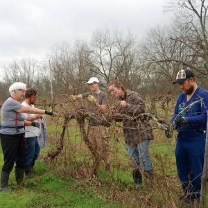 A group of people pruning the grape vines in the vineyard