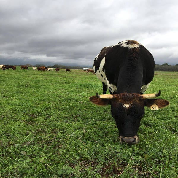 Stormy Cow