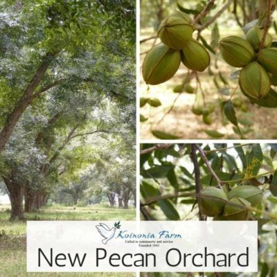 Koinonia is planting a new pecan orchard. Pictured- pecan tree and pecans on the tree up close.