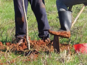 Muddy Boots planting a new pecan tree