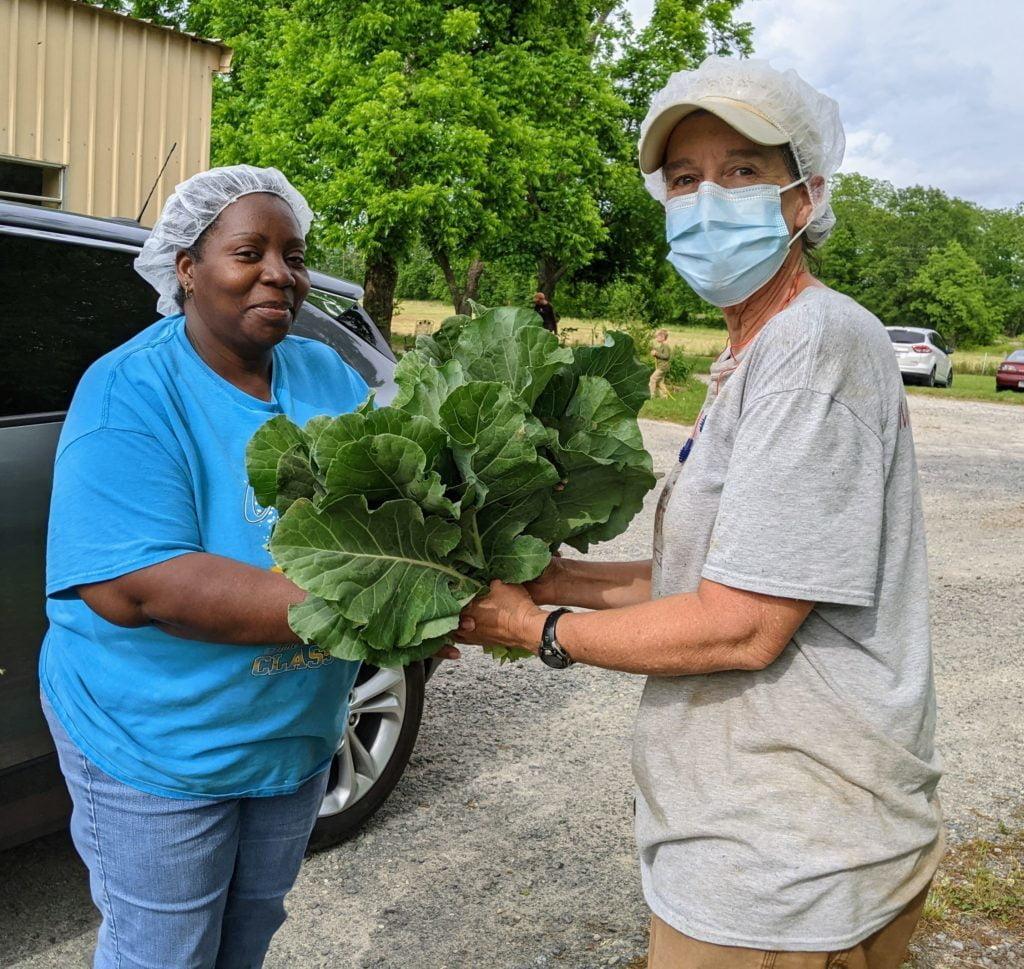 First harvest of collard greens