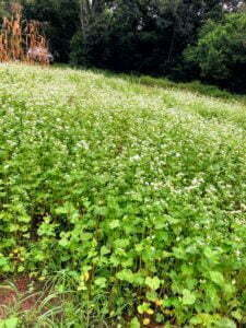 Green plot of buckwheat