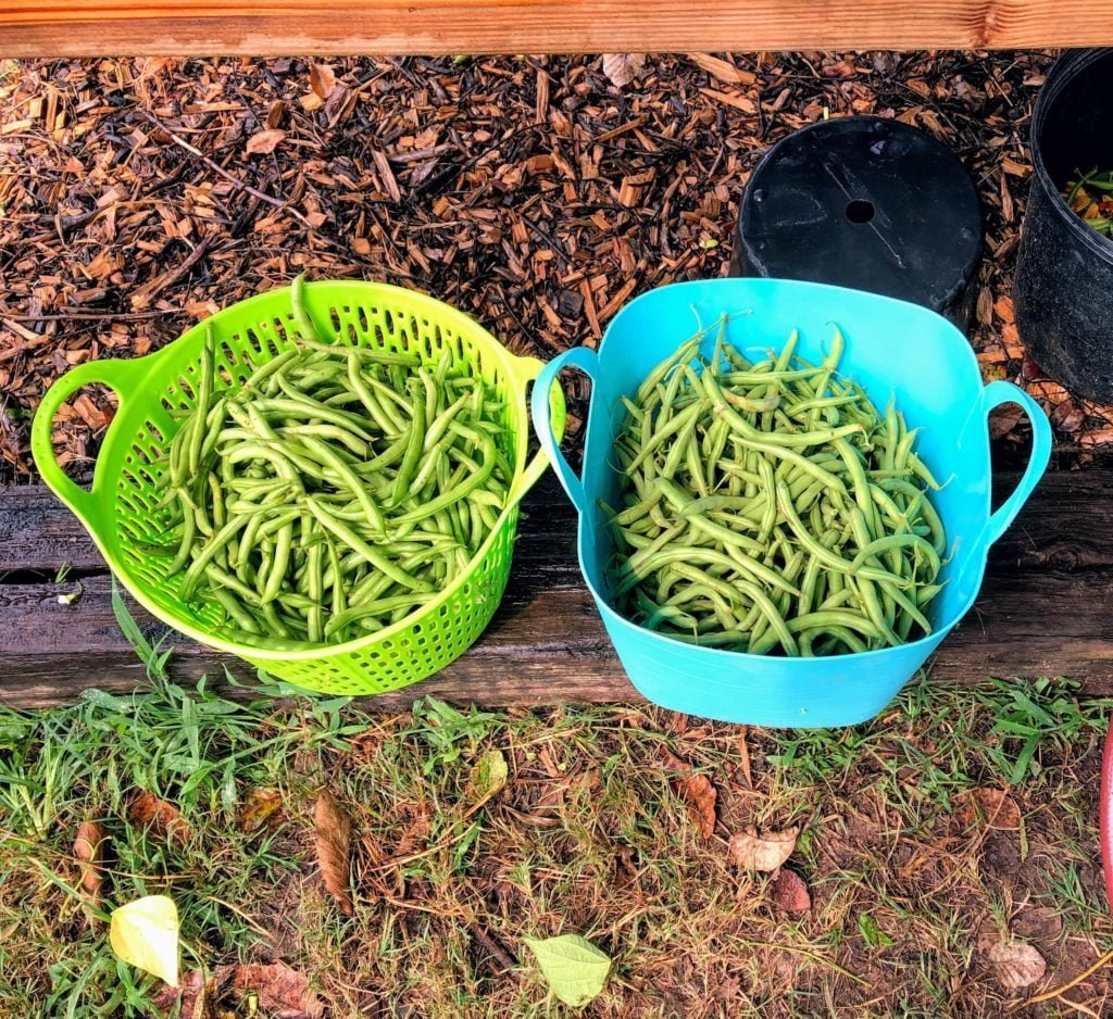 Green Bean harvest in a green basket and a blue basket