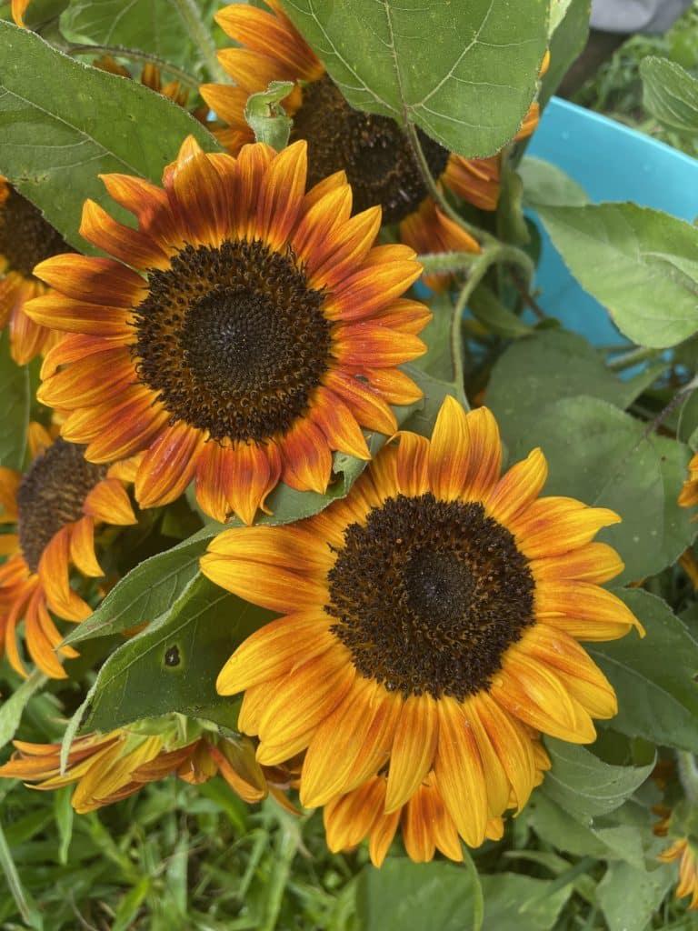 Orange Yellow Sunflowers