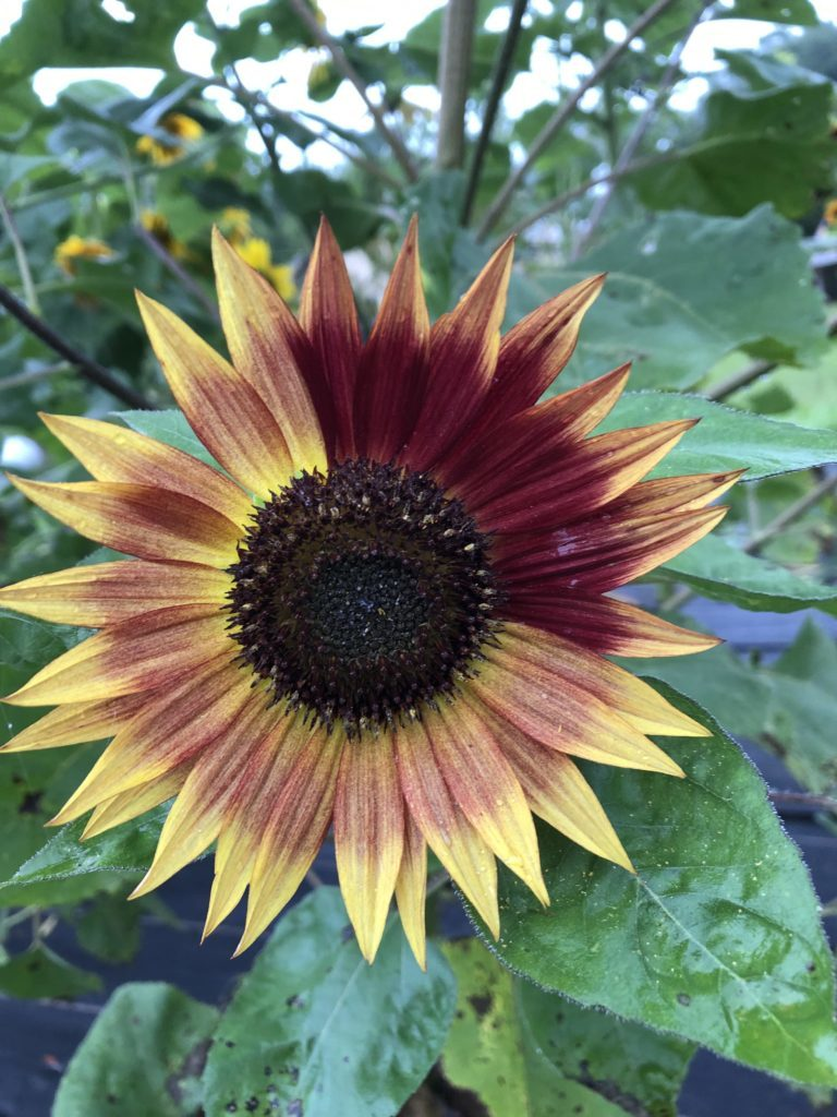 Sunflower with red petals