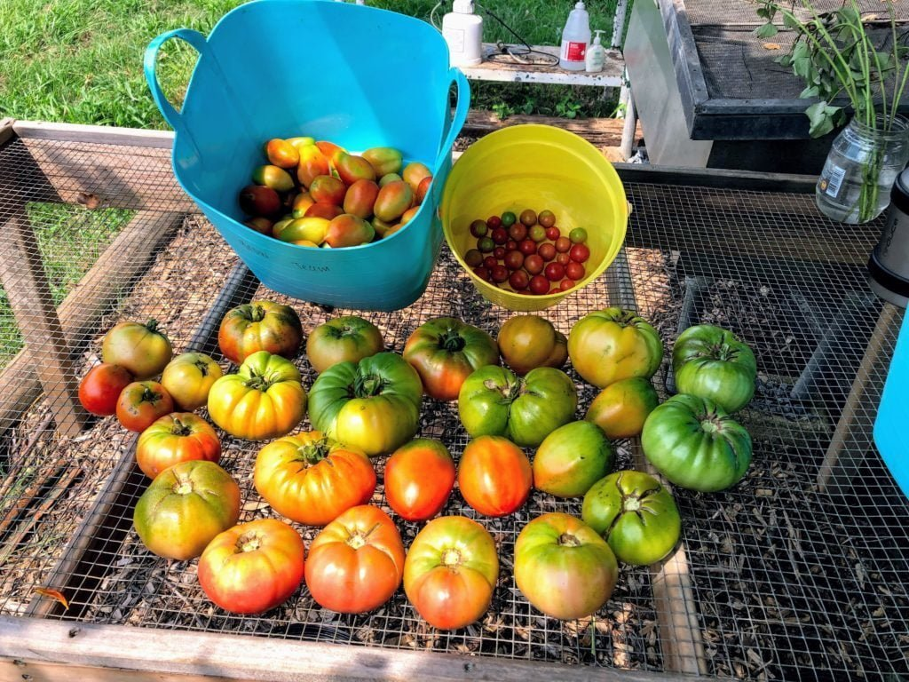 Tomato harvest in buckets and on a screen table