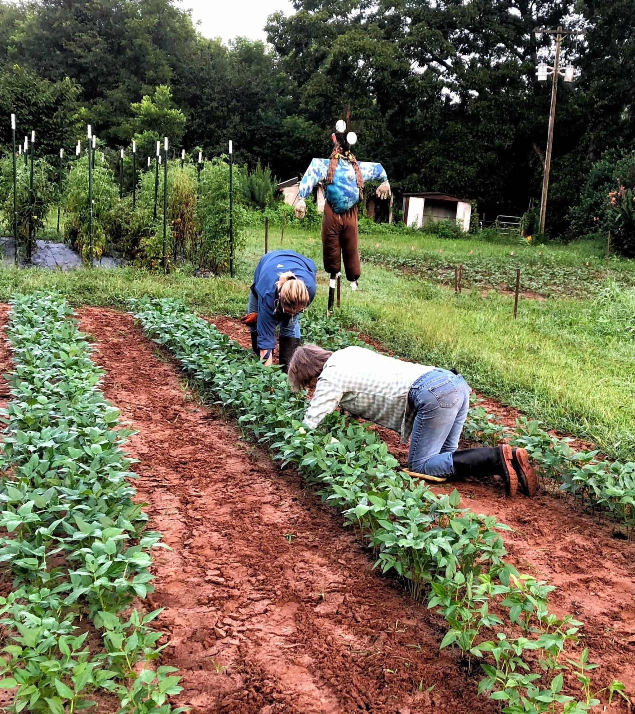 Two people weeding rows of peas